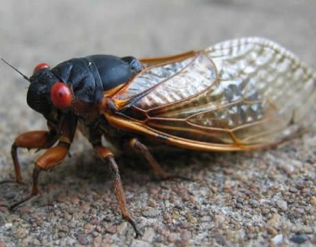 cicada-460x360